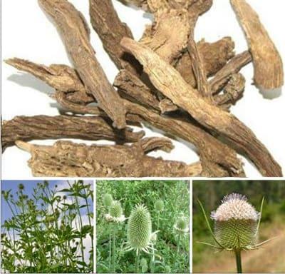 Tục đoạn (rễ khô cây xuyên tục đoạn) trị đau lưng mỏi gối, sưng tấy do té ngã...